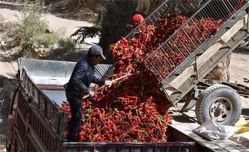 近万亩辣椒丰收晒红戈壁滩